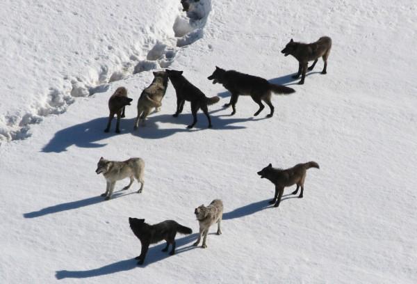 Madaidhean-allaidh ann an Yellowstone, 2007